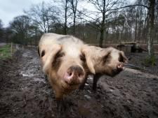 Oosterbeekse duizendknoop-varkens gered van de slacht