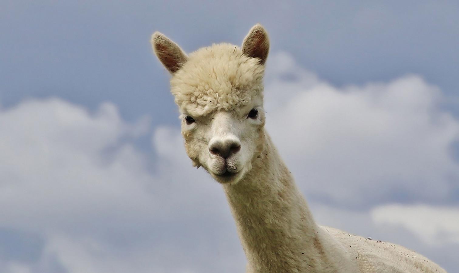 Een verbaasde alpaca