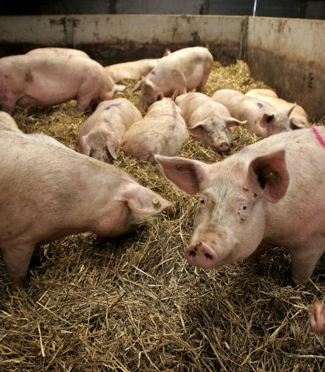 Wakker Dier wil verbod op varkensballen