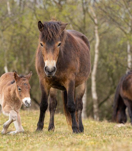 Shetlanders en exmoorpony's staan 'op klappen' in natuurgebied bij Renesse