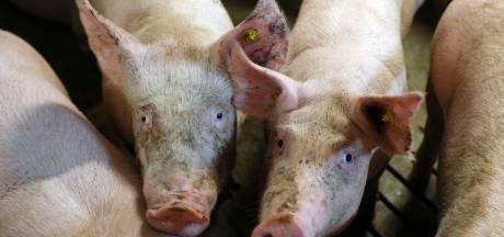 Begin van 'grote schoonmaak': eerste varkensbedrijf De Elzen Boekel verdwijnt