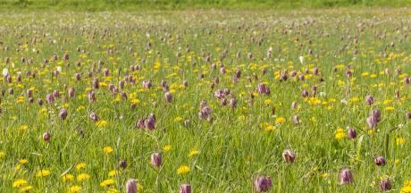 Boswachter Jeroen: Laat onze kwetsbare kievitsbloemen met rust!