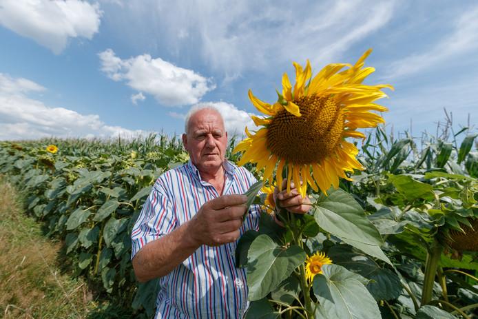 Henk Boot uit Etten-Leur is een pilot gestart. Bij 4 agrariërs in de regio zijn zonnebloemen rondom maïsvelden geplant om biodiversiteit te vergroten.