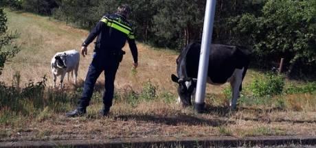 Koe breekt los naast A58 bij Gilze-Rijen, krijgt waarschuwing van de politie