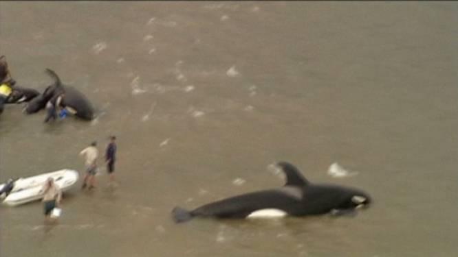 Zeven orka's op zandbank gestrand