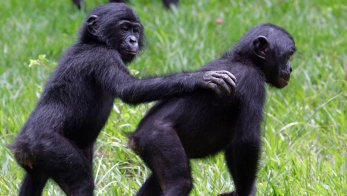 Bonobo's voelen medeleven met anderen, aldus dr. Mariska Kret.