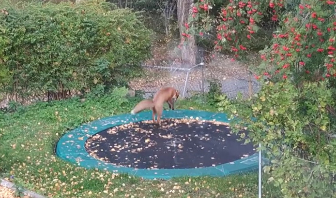 Un renard fait du trampoline dans un jardin