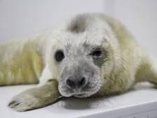 Gevonden Olaf op Vlieland is de eerste pup die Pieterburen deze winter opvangt