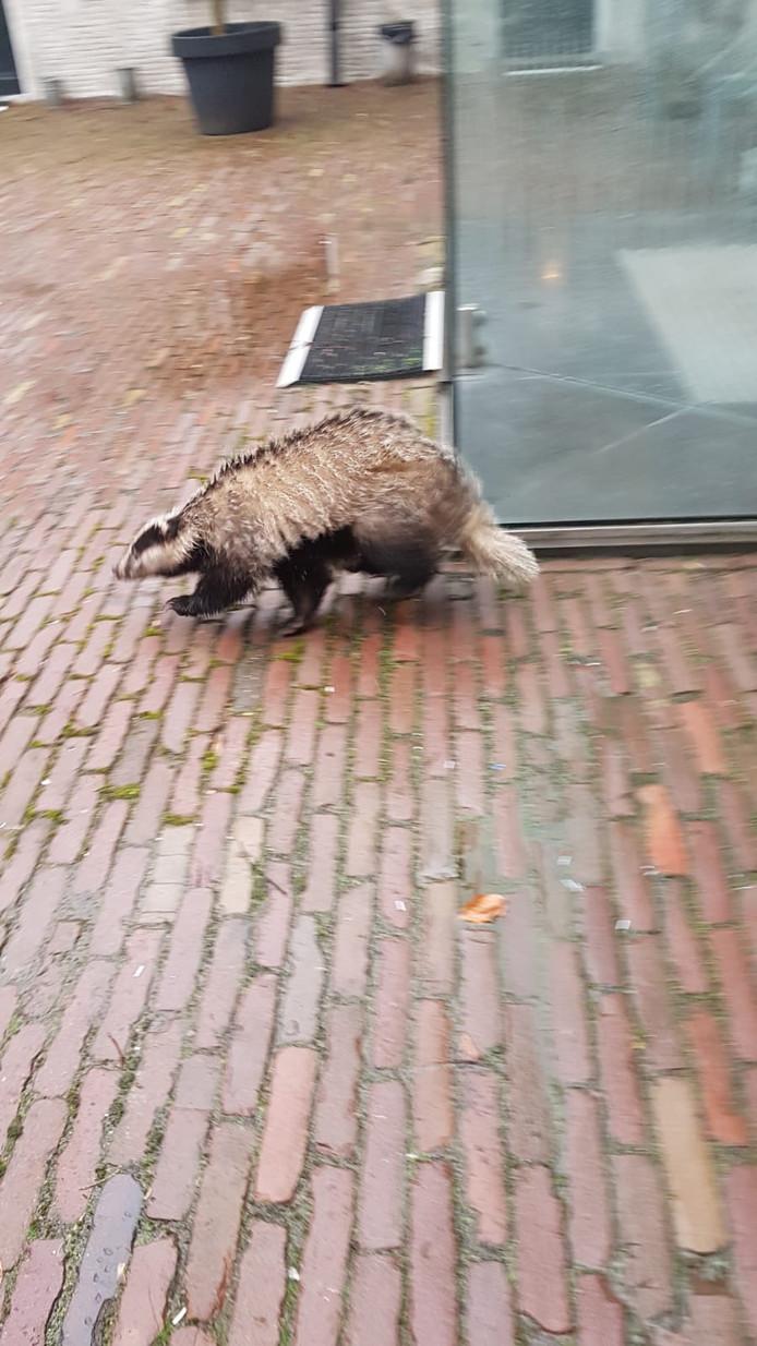 De das in het centrum van Oosterhout.