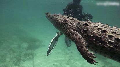 Gewaagd: duikers zwemmen met dodelijke zoutwaterkrokodil