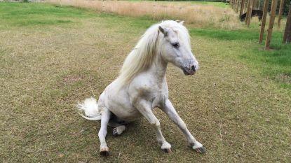 Charlotte vindt haar pony dood in zwembad: politie Zottegem start onderzoek naar dierenbeulen