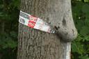 Een bekend beeld van afgelopen zomer. Grote nesten vol eikenprocessierupsen aan de eikenbomen.