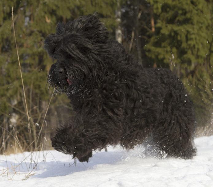 """Terrier noir de Russie (aussi surnommé abusivement """"chien de Staline"""")"""