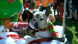 VIDEO. Van unicorn tot teddybeer: honden dragen gekste kostuums in parade