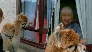 Kijk hoe oudjes in quarantaine opfleuren van bezoek alpaca's