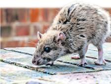 Groot onderzoek nodig naar bestrijding ratten: 'Rattenplaag wordt groter in Nederland'