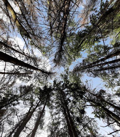 Droogte: Sparren sterven massaal in bossen in de Langstraat