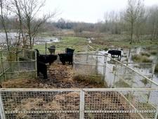 Galloways weg uit 'verzopen' Zaartpark in Breda