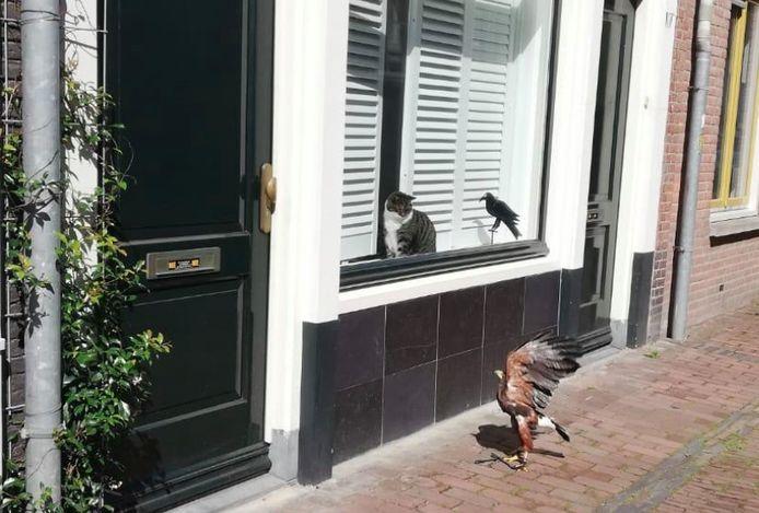 Een woenstijnbuizerd streek zondagmorgen neer op de Springweg in Utrecht. Hij zat een tijdje te loeren naar een paar kraaien en een kat die achter het raam zat.