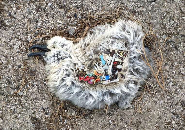 Beeld van een albatroskuiken met plastic in de maag uit de door Matser gefinancierde documentaire. Beeld