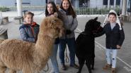 En plots loopt er een alpaca op de speelplaats: leerlingen Dierenzorg laten jongeren kennismaken met studierichting