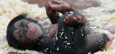 Chimpanseejong zet eerste stapjes in DierenPark Amersfoort