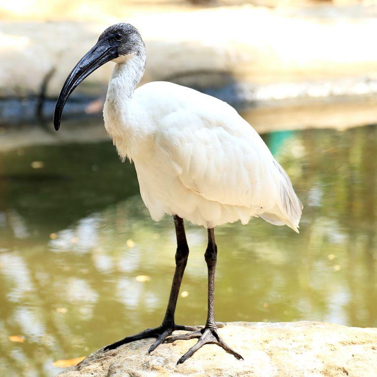 Anti-held, de Australische ibis Beeld colourbox