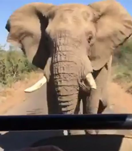 Woeste olifant zit Arnold Schwarzenegger op de hielen