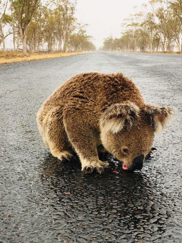 Een dorstige koala zoekt waterplasjes op een autoweg in Australië.