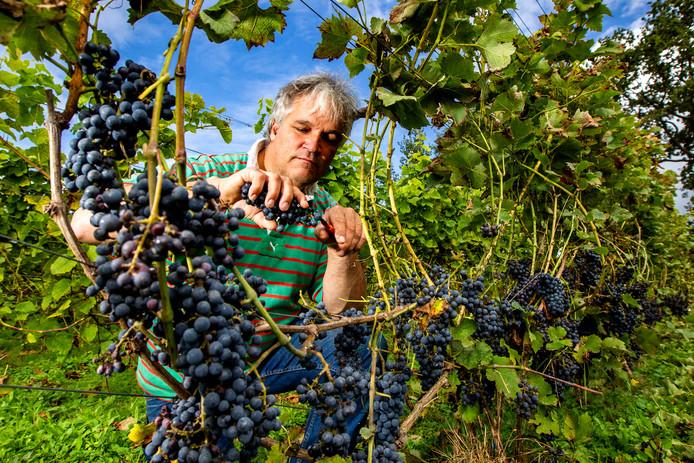 Ralph Mulders aan het werk in zijn Wijngaard De Landman in Raalte.
