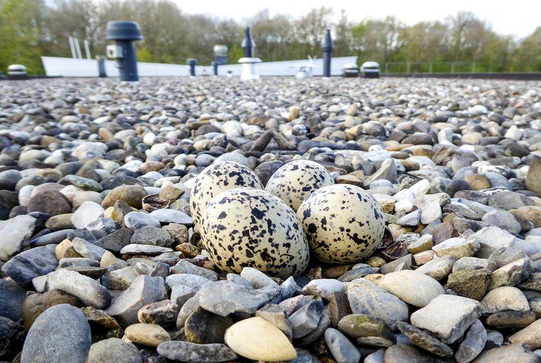 Eieren van een scholekster op een dak. Beeld Rinus Dillerop
