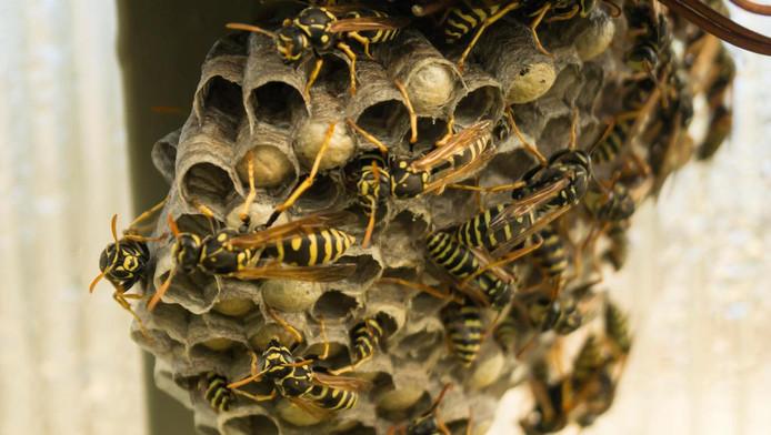 Een wespennest.