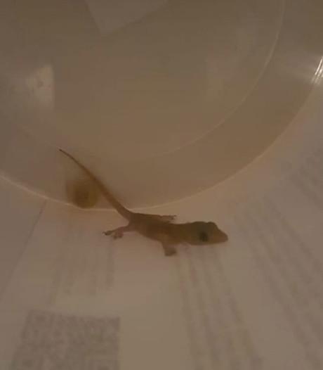 Taiwanese gekko duikt op in Luyksgestel, overgebracht naar Tilburg: 'Wonder dat dit opgemerkt werd'