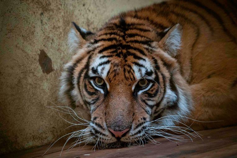 Tijgerin Softi eerder deze maand in de Poznan Zoo.