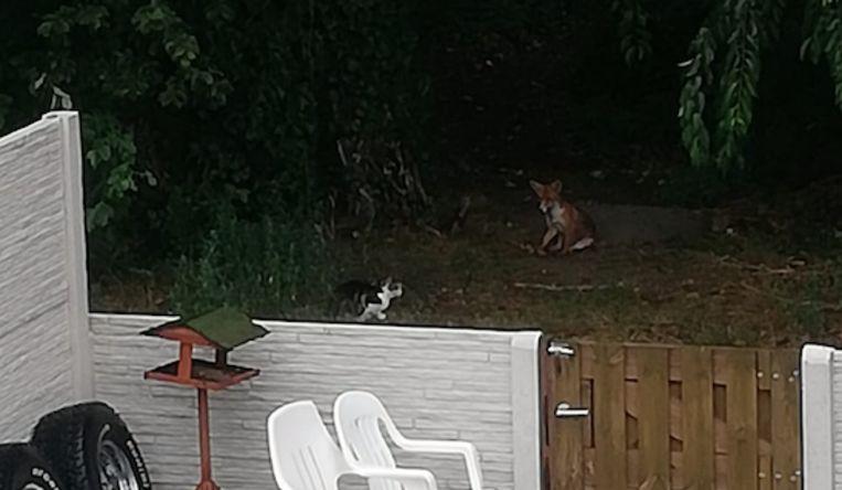 Jong vosje en kat kunnen het goed met elkaar vinden.