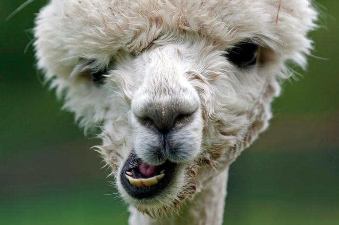 Alpaca-fokker uit Steensel zwaar gedupeerd door diefstal ...