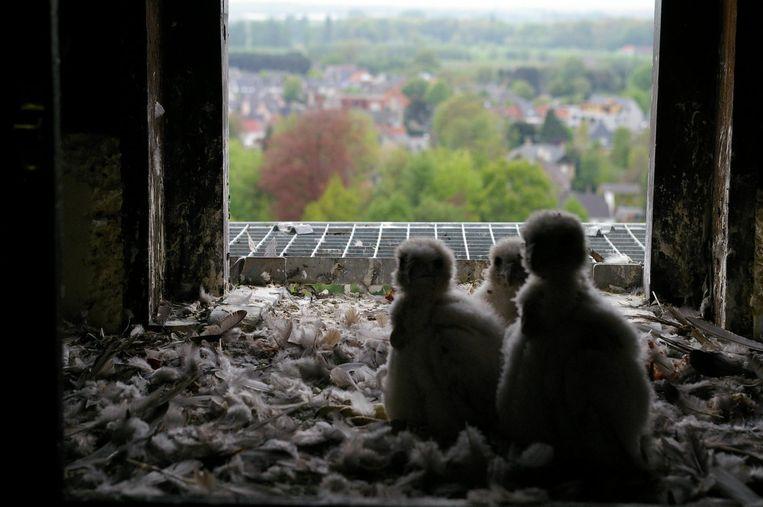 De drie jonge slechtvalken in de kerktoren van Zele werden intussen geringd.