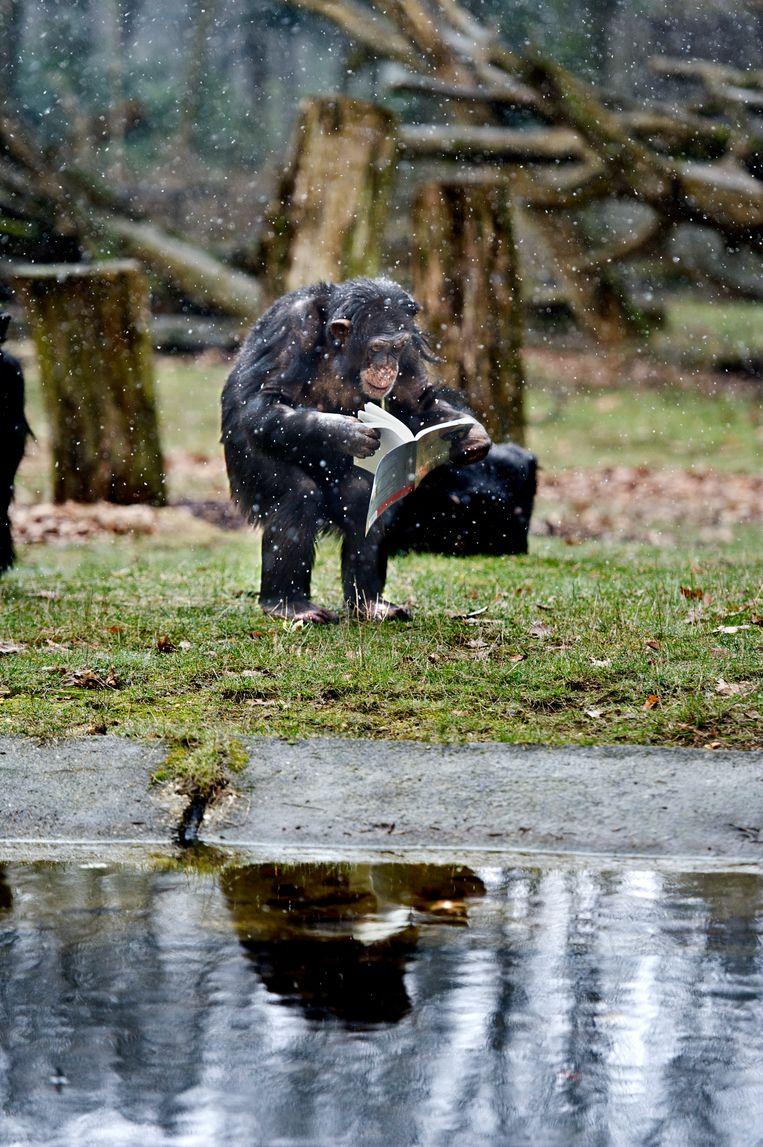 Geschiedenis van de mens in een notendop: een aap die uit de boom kwam, op twee benen ging lopen en slim werd. Beeld Koen Verheijden