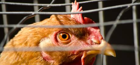Ophokplicht pluimvee: na 16 weken doet dat pas pijn bij de boer