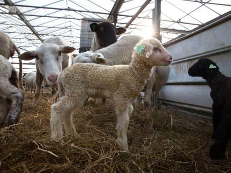'Haagse kinderboerderijen fokken te veel kalfjes en lammetjes'