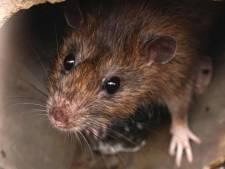 Giechelen en vreugdesprongetjes: ratten zijn volgens onderzoek dol op verstoppertje spelen