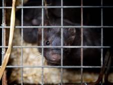 Besmetting door nerts 'wereldwijde primeur', ook konijnen hebben de aandacht