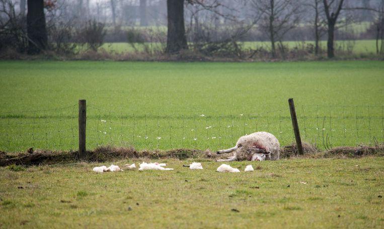 Overal in de weide lagen plukjes wol.