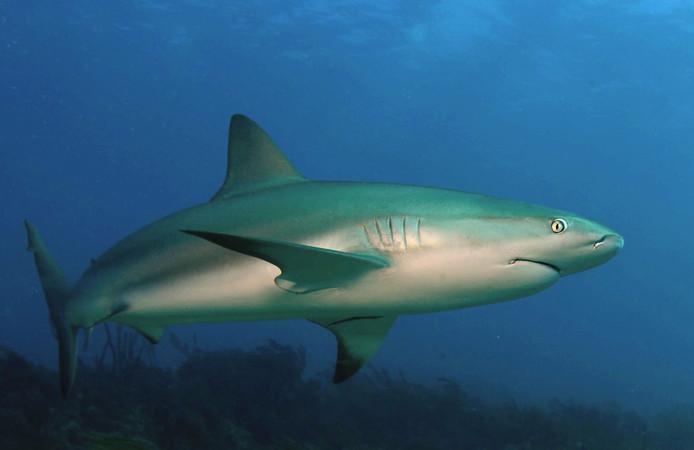 Voorbeeld van een Caribische rifhaai.
