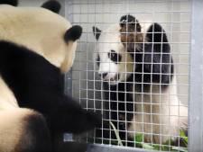 Meekijken met de panda's kan nu vanuit de luie stoel