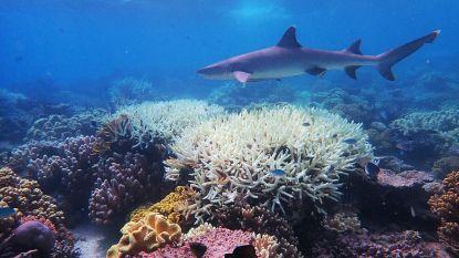 Wetenschappers vinden manier om koraal meer resistent te maken tegen hitte