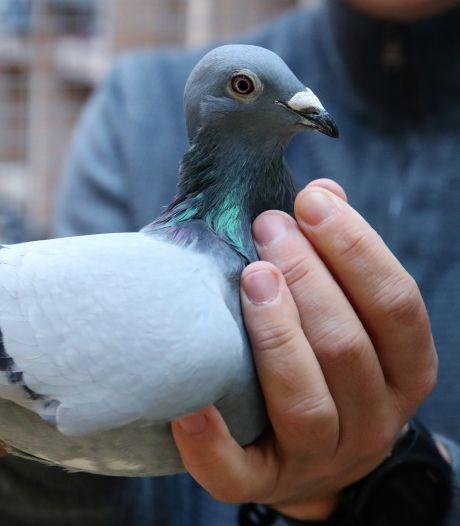 Ce pigeon belge a été vendu aux enchères pour 1,6 million d'euros, un record en Europe