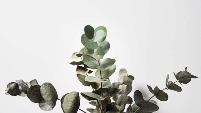 Dit is waarom het een goed idee is om eucalyptustakken in je douche te hangen