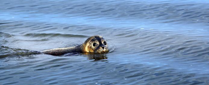Een zeehond in de Waddenzee