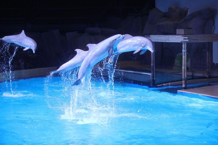 De sprongen die de dieren uitvoeren, doen ze ook in het wild en zijn dus geen circusacts. Met de show wil het dolfinarium zich wapenen tegen de kritiek van dierenrechtenorganisaties.